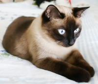 Siamese-Cat