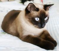 Siamese-Cat